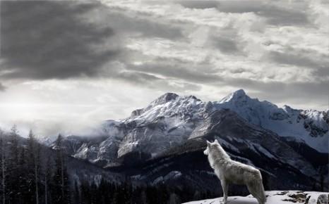 Wolf-snow-2013