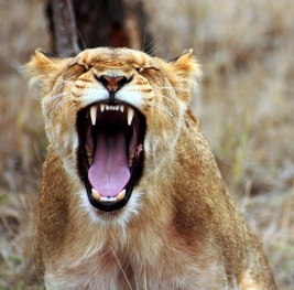 lion-mouth