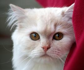 villain-cat
